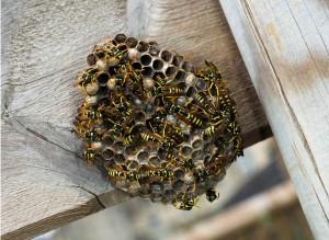 paper-wasp-nest.jpg.838x0_q67